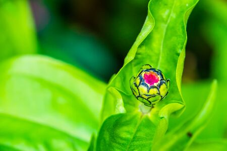 closeup of a pompon flower bud, popular garden flower specie in spring season, nature background Stockfoto