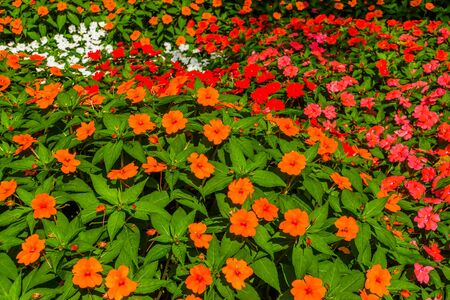 flower carpet of impatiens x hybrida hort, popular hybrid specie of snapweed flowers, air purifying plant