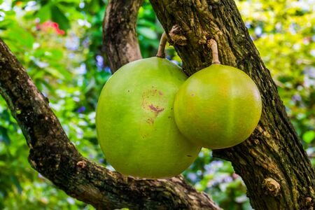 closeup of the fruits in a calabash tree, tropical fruiting plant, Exotic specie from America Stockfoto