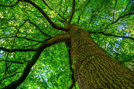beautiful American sweetgum tree, popular forest tree specie from America, nature background Stockfoto