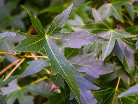 closeup of the leaves of a american sweetgum tree during summer season, exotic plant specie from America