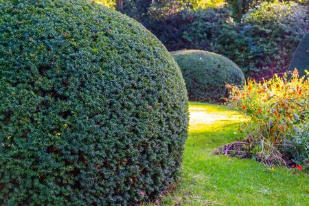 freshly pruned conifer tree in closeup, gardening and upkeep, pruning art, Garden background