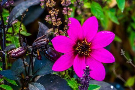 beautiful purple mignon dahlia flower in bloom, ornamental cultivated garden flowers, cultivar specie