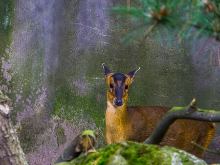 female chinese muntjac in closeup, Barking deer from asia, Small doe Stockfoto