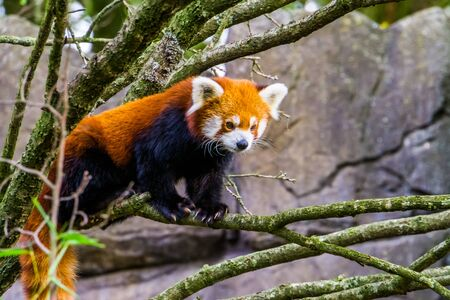 closeup portrait of a red panda standing on a tree branch, Adorable small panda, Vulnerable specie from Asia