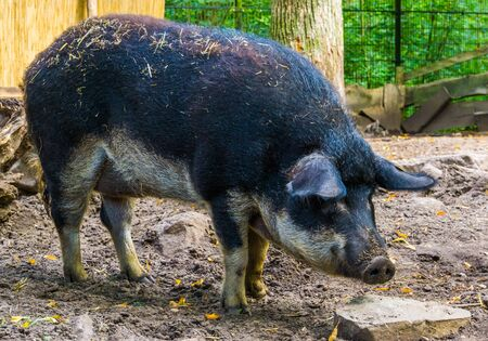 swallow bellied mangalitsa pig in closeup, domesticated hybrid breed from Hungary Stockfoto