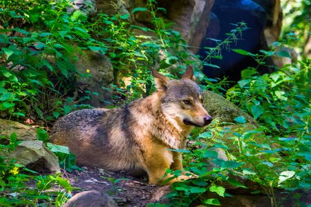 closeup of a gray wolf sitting on the ground in the forest, wild dog from Eurasia