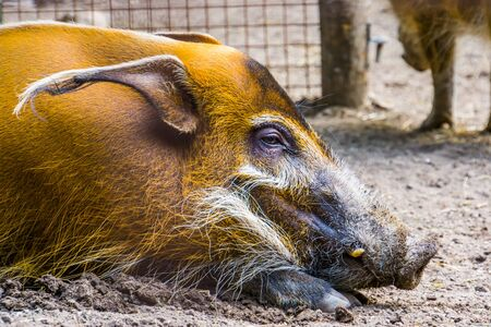 closeup of the face of a red river hog, tropical wild boar from Africa