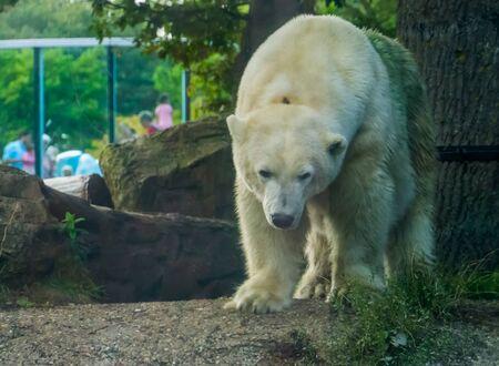 polar bear in closeup, Vulnerable animal specie from the arctic coast, popular zoo animals