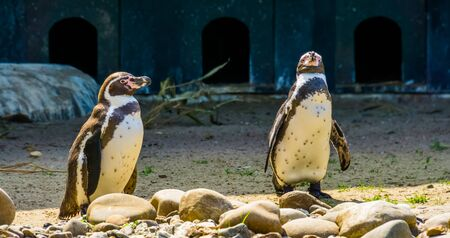 two humboldt penguins together at the coast, semi aquatic birds from south america, vulnerable animal specie