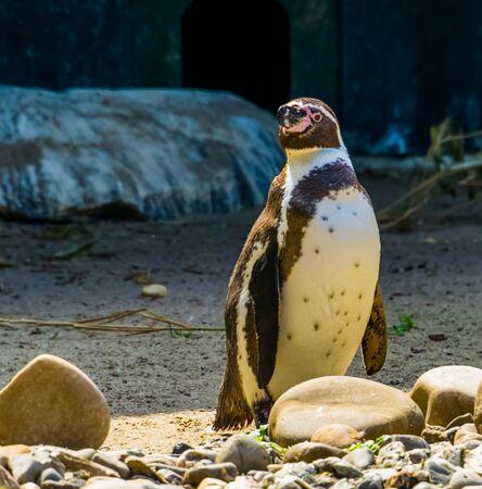 closeup of a humboldt penguin standing at the coast, flightless semi aquatic bird, vulnerable animal specie from south America Stockfoto