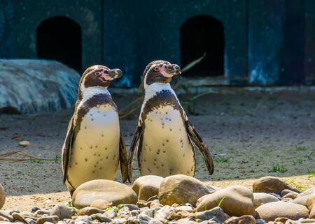 humboldt penguin couple standing together at the shore, Semi aquatic birds, Vulnerable animal specie from South america Stockfoto