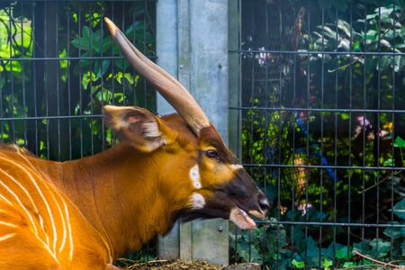 the face of a eastern mountain bongo in closeup, critically endangered animal specie from africa