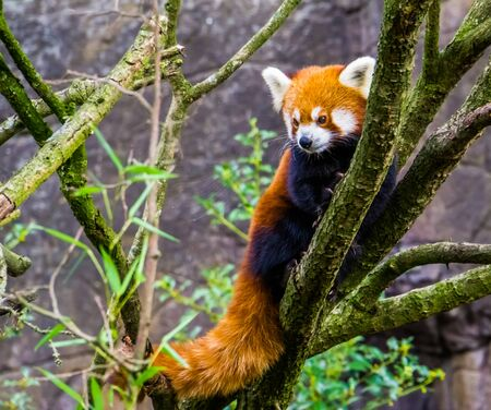 closeup of a red panda climbing in a tree, Endangered animal specie from Asia
