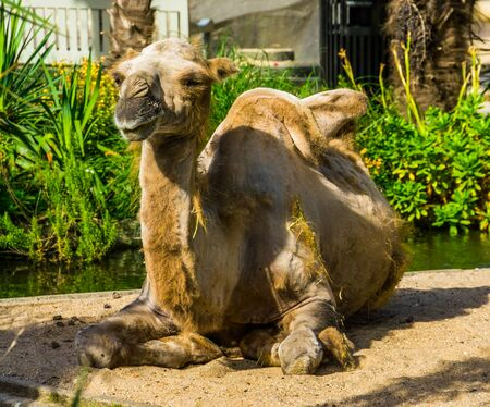 bactrian camel with alopecia, animal with hair loss, popular zoo animal