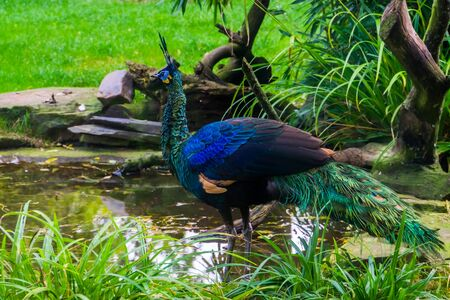 green java peacock standing at the water side, Beautiful colorful bird from Java in indonesia, tropical endangered animal specie