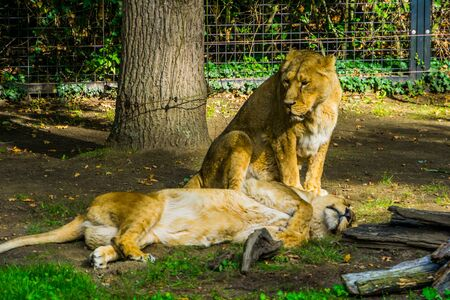 Female Asiatic lion couple together, wild tropical cats, Endangered animal specie from Asia