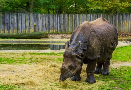 Great indian rhinoceros eating food, Diet of a rhino, Vulnerable animal specie from India