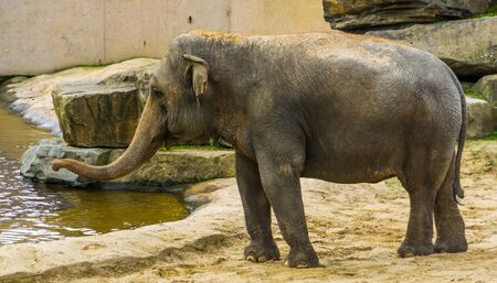 Asian elephant closeup portrait, Endangered animal specie from Asia