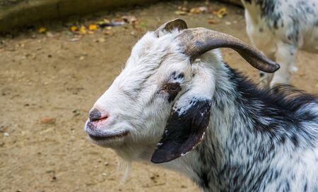 closeup of the face of a damara goat, African sheep breed from Damaraland in Namibia