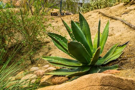 green sentry plant in a desert scenery, popular tropical plant specie from America Stock Photo