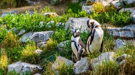 African penguin couple together on some rocks, Endangered animal specie from Africa