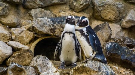 cute african penguin couple together, Endangered animal specie from the coast of Africa