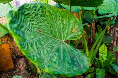 closeup of the leaf of a giant taro plant, popular tropical plant specie from Australia Stock Photo