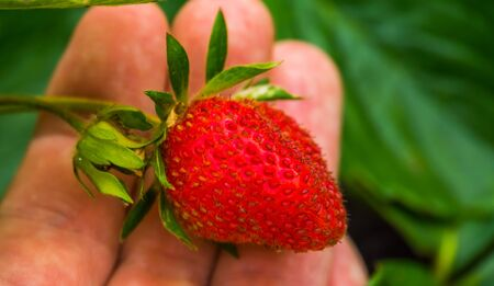 macro closeup of a hand holding a ripe and fresh strawberry, Organic gardening and agriculture background Banco de Imagens - 138836209