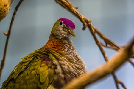 purple crowned fruit dove in closeup, colorful tropical bird specie, popular pet in aviculture