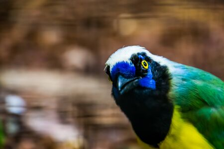 funny inca jay face in closeup, tropical bird specie from america Stock Photo