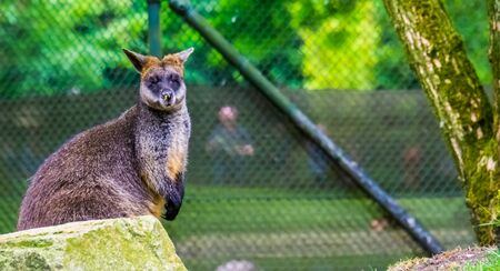 closeup portrait of a swamp wallaby, tropical marsupial specie from Australia 写真素材 - 138836245