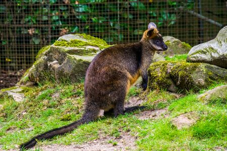 swamp wallaby in closeup, tropical marsupial specie from Australia, popular zoo animal 写真素材 - 138836246
