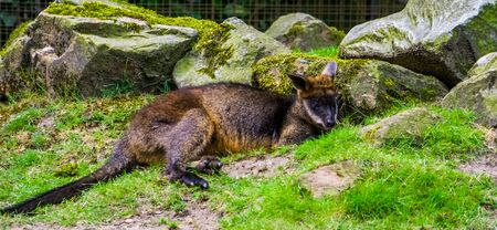 closeup of a swamp wallaby laying on the ground, tropical marsupial from Australia 写真素材