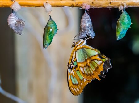 malachite butterfly coming out of its cocoon, pupation process, Entomoculture background