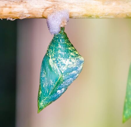 green and yellow butterfly cocoon in macro closeup, tropical insect specie, pupation cycle