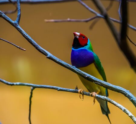 closeup of a gouldian finch sitting in a tree, colorful tropical bird specie from Australia