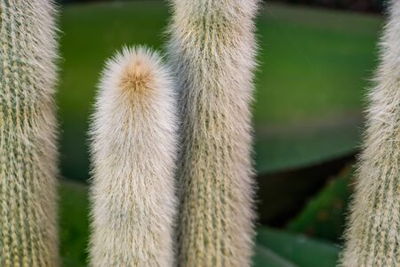 closeup of the stems of a old man cactus, white bearded cactus, Endangered plant specie from mexico