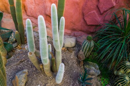 old man cactus in a tropical garden, grey bearded cactus, Endangered plant specie from mexico