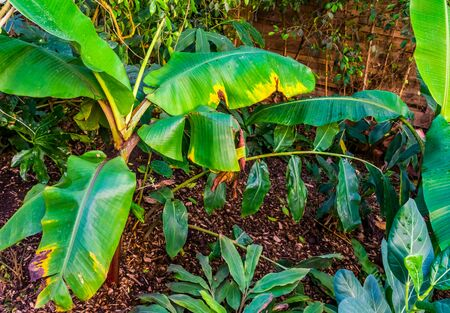 musa griersonii, Wild banana specie, popular ornamental tropical plants for the garden Stockfoto
