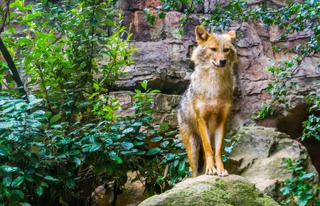 beautiful portrait of a golden jackal standing on a rock, wild dog specie from Eurasia