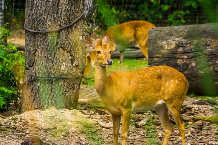 female elds deer in closeup, Endangered animal specie from South Asia Stockfoto