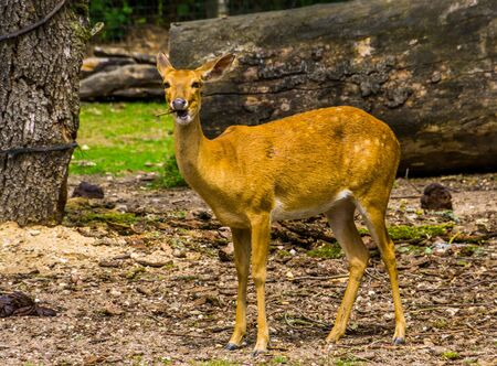 Female elds deer looking in the camera in closeup, Endangered animal specie from Asia