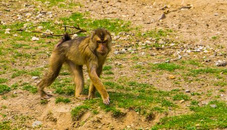 portrait of a southern pig tailed macaque walking, vulnerable primate specie from Asia