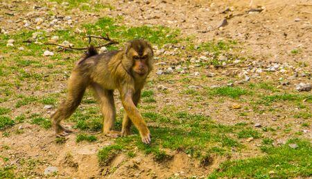 Retrato de un macaco de cola de cerdo del sur caminando, especie de primates vulnerables de Asia