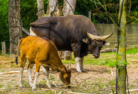beautiful portrait of a banteng cow and bull together in the pasture, Endagered animal specie from Indonesia