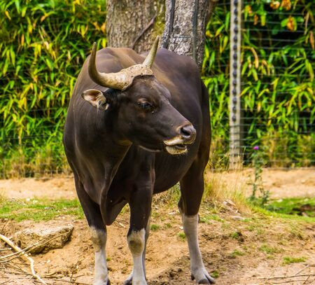 closeup portrait of a black banteng bull, Endagered cattle specie from Indonesia