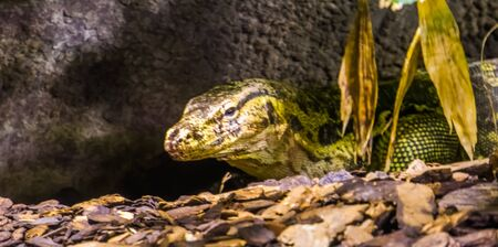 closeup of the face of a common water monitor, tropical lizard specie from Asia