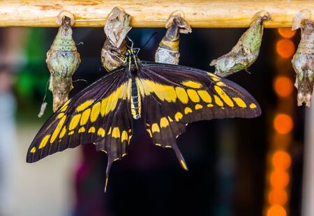 closeup of a king swallowtail butterfly with cocoons, popular pet breeding in entomoculture Stockfoto