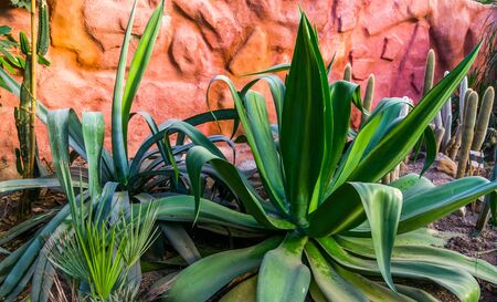 big agave plant in a tropical garden, popular exotic plant specie from america